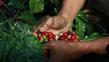 Long tradition in coffee production in El Salvador